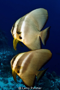 Spadefish pair by Larry Polster 